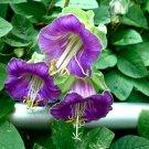 Purple Cathedral Bell Vine Cobaea scandens - 8 Seeds