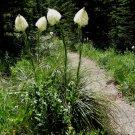 Wild Bear Grass Xerophyllum tenax - 100 Seeds