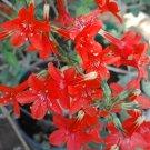 Skyrocket Scarlet Red Standing Cypress Gilia Ipomopsis rubra - 250 Seeds