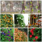 Delightful Flowering Vine Fest Seed Collection - 6 Varieties