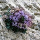 Rare Wild Devil's Claw Tufted Horned Rampion Physoplexis comosa - 25 Seeds