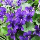 Edible Flowers Sweet Violet Organic Viola Odorata - 30 Seeds