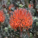 South African Rocket Pincushion Mix Leucospermum Reflexum - 10 Seeds