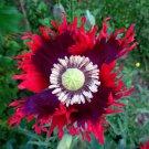 Brilliant Drama Queen Poppy Papaver hybridum Laciniatum - 80 Seeds