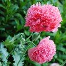 Pink Peony Poppy Papaver Paeoniflorum - 100 Seeds