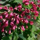 Chilean Zarcilla Bomarea salsilla - 5 Seeds