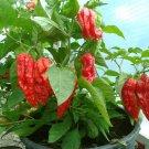 HOT! Bulk Ghost Pepper Chili Red Bhut Jolokia Capsicum chinense - 150 Seeds
