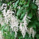 White Oceanspray Shrub Holodiscus discolor - 200 Seeds