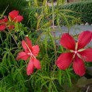 Native Red Swamp Hibiscus Star Hibiscus coccineus - 10 Seeds