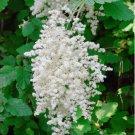 Bulk Wild Ironwood Creambush Oceanspray Holodiscus discolor - 2000 Seeds