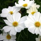 Bulk Snow White Cosmos Purity Cosmos bipinnatus - 500 Seeds