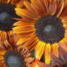 Beautiful Rust Colored Sunflower Helianthus annuus - 20 Seeds