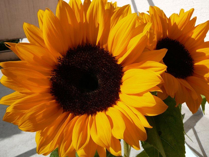 Bright Orange Sunflower Helianthus annuus - 20 Seeds