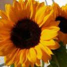 Bright Orange Sunflower Sunrise Helianthus annuus - 20 Seeds