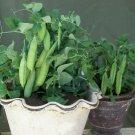 Heirloom Dwarf Sweet Patio Pea Tom Thumb Pisum sativum - 50 Seeds