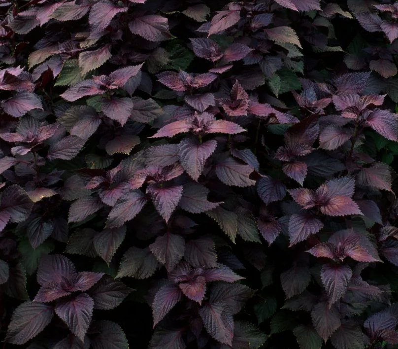 Red Shiso Herb Perilla frutescens - 200 Seeds