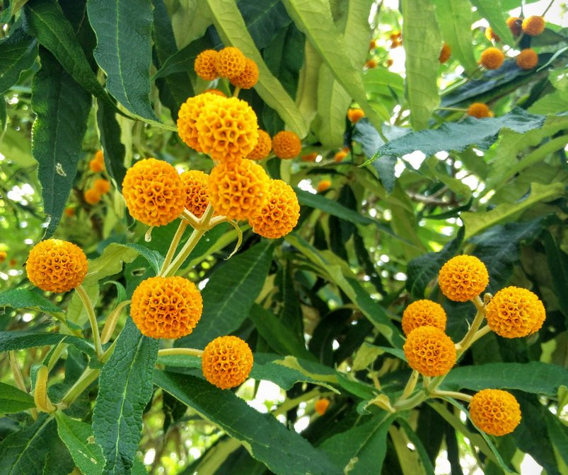Hardy Orange Ball Butterfly Bush Buddleja globosa - 25 Seeds