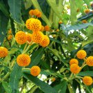 Hardy Orange Ball Butterfly Bush Buddleja globosa - 25 Seeds