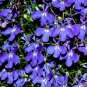 Fairy Garden Lobelia Emperor William Lobelia erinus - 500 Seeds