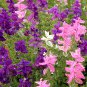 Mixed Painted Horminum Sage Salvia Viridis - 80 Seeds