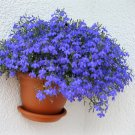 Blue Edging Lobelia Emperor William Lobelia erinus - 500 Seeds