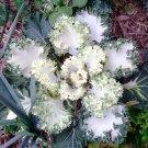 Showy Emerald Ice Kale Brassica oleracea Acephala - 25 Seeds
