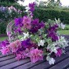 Colorful Painted Horminum Sage Salvia Viridis - 80 Seeds