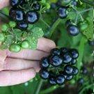 Organic Heirloom Black Garden Huckleberry Solanum nigrum var. melanoserasum - 50 Seeds