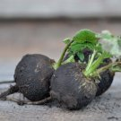 Black Radish Heirloom Raphanus sativus niger - 80 Seeds