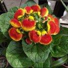 Slipper Flower Calceolaria herbeohybrida - 50 Seeds