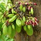 Kamias Bilimbi Cucumber Tree Averrhoa bilimbi - 8 Seeds