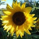 Hopi Dye Heirloom Heirloom Sunflower Helianthus annuus - 15 Seeds