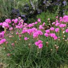 Thrift Seapink Armeria maritima - 250 Seeds