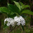White Angel Kurchi Shrub Rare Holarrhena pubescens - 20 Seeds