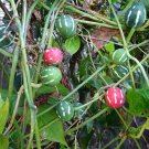 Rare Lollipop Marble Vine Bryonopsis Laciniosa - 15 Seeds