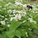 White Flowering Buckweat Fagopyrum esculentum - 500 Seeds
