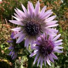 South African Purple Zulu Warrior Berkheya purpurea - 15 Seeds