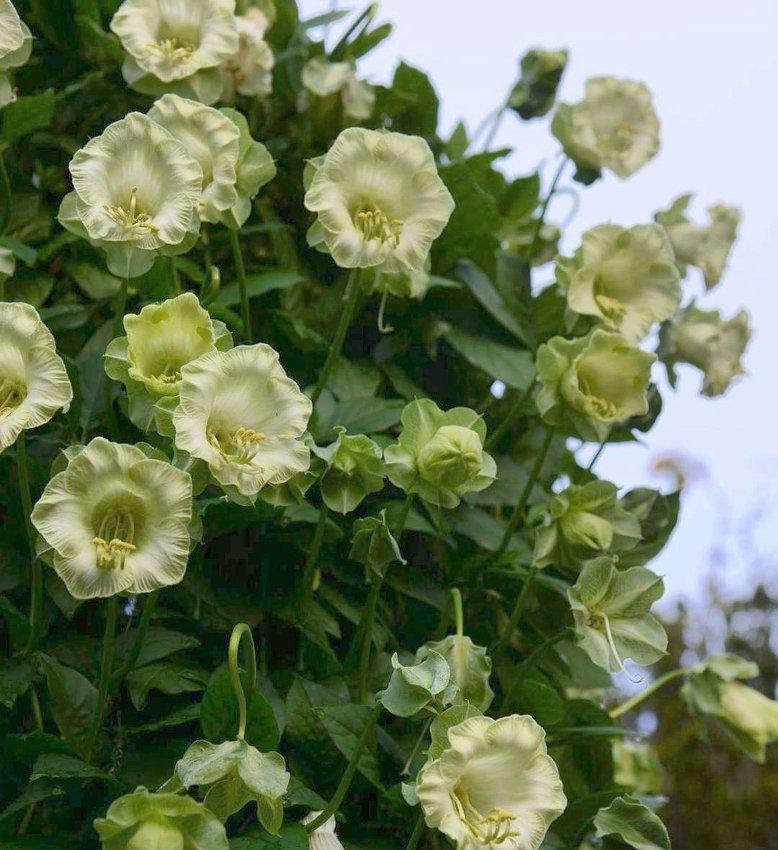 White Cathedral Bells Cobaea Scandens alba - 8 Seeds