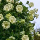 White Cathedral Bells Cobaea Scandens alba - 8 Seeds