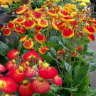Pouch Flower Calceolaria herbeohybrida - 50 Seeds