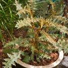 Rare Unusual Porcupine Tomato Solanum pyracanthos - 10 Seeds