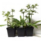 Culantro Leaf Recao Ngo gai Eryngium foetidum -  1 Live Plant