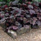 Goth Garden Dark Foliage 'Palace Purple' Heuchera micrantha - 100 Seeds