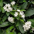 White Madagascar Jasmine Stephanotis floribunda - 5 Seeds