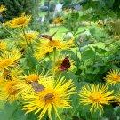 Hardy Yellow Oxeye Telekia speciosa - 50 Seeds