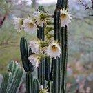 Ornamental Pipe Cactus San Pedro Trichocereus Pachanoi - 20 Seeds