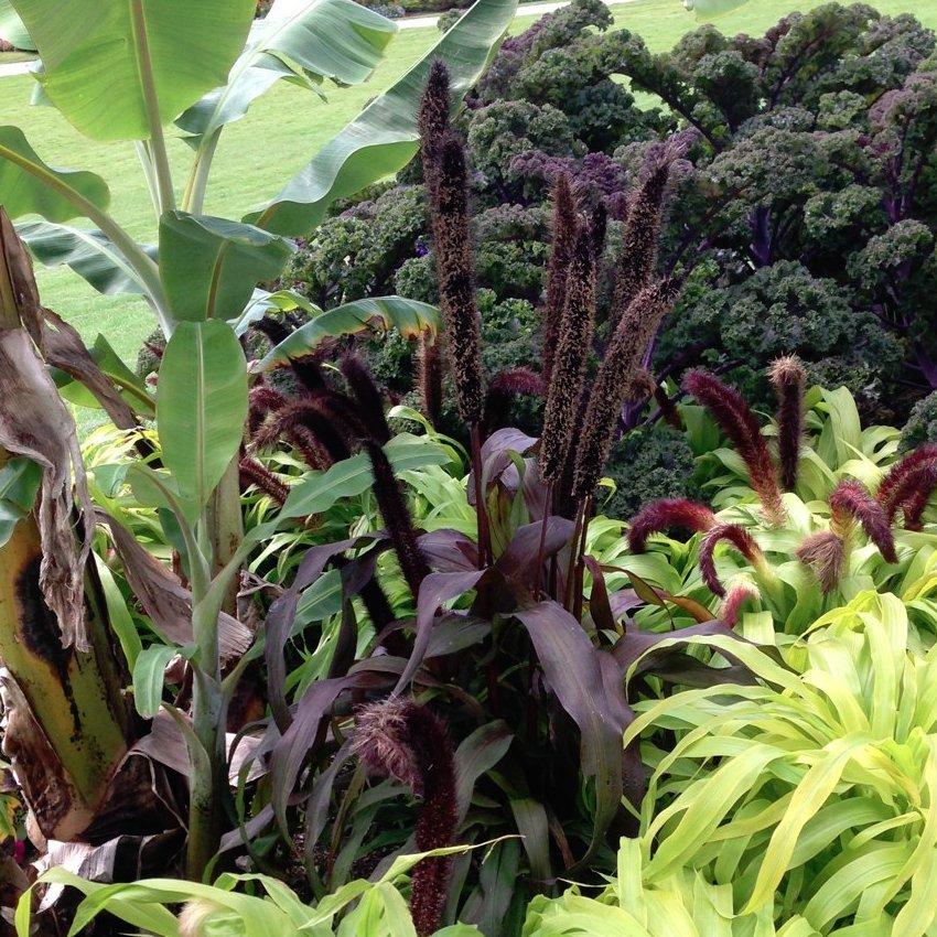 Goth Garden Almost Black Ornamental Grass Purple Majesty Pennisetum glaucum - 8 Seeds