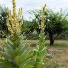 Heirloom Mullein Herb Candlewick Plant Verbascum thapsus - 100 Seeds
