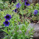 Beautiful Painted Tongue 'Blue Kew' Salpiglossis sinuata - 50 Seeds