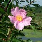 Swamp Rose Pink Marsh Rosa palustris -  40 Seeds
